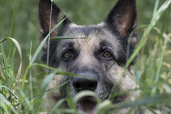 Dog Hunting Stock Images