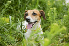 Dog hunting. Cute little dog hunting in a bright grass breathes heavily is tired with running Royalty Free Stock Image