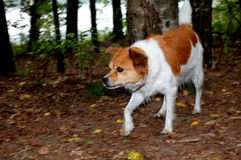 Dog hunting in a forest Royalty Free Stock Photography