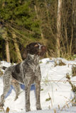 Dog hunting in the forest winter Stock Image