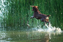 Dog hunting in the reeds in water Royalty Free Stock Photo