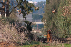 Dog hunting. Rhodesian ridgeback pursues three partridges Stock Photos