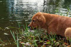 Dog hunting in river. Dog cooling off in river water Royalty Free Stock Photos