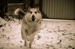 Dog. Hunting Dog runs on camera Stock Photography