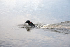 Dog hunting in the water. Dog jumping through the water to fetch a wooden stick Stock Images