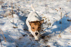 Dog hunting at winter field. Jack Russell Terrier sneaking and pursuing his prey Royalty Free Stock Photos