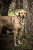 Dog. Hunting Dog in a wood Stock Images