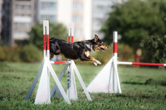 Dog hurdling over a jump at an agility event Stock Photo