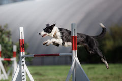 Dog hurdling over a jump at an agility event Royalty Free Stock Photography