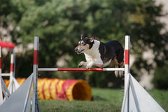 Dog hurdling over a jump at an agility event. Sports competitions of dogs in the summer in the park Royalty Free Stock Photography
