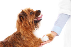 Dog with hurt paw Stock Photos