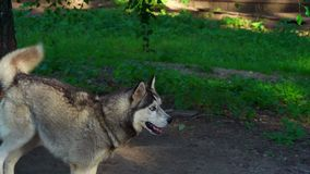 The dog of the Husky breed is tied with a chain to a tree. Dog bark and worry, as the feeding time approaches. Sunny summer evening in a dog kennel stock video footage