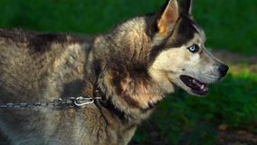 The dog of the Husky breed is tied with a chain to a tree. Dog bark and worry, as the feeding time approaches. Sunny summer evening in a dog kennel stock footage