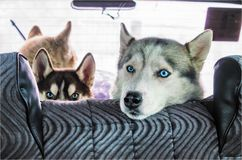 Dog husky in the car Stock Images
