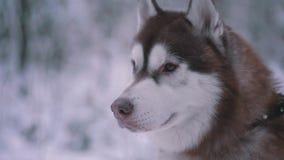 Husky dog stock video footage