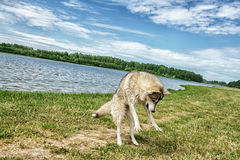 Dog husky in nature royalty free stock photography