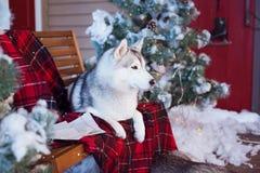Dog Husky. Dog, pet Husky is sitting near the Christmas tree Stock Photo