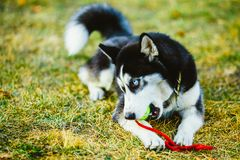 Dog Husky Puppy Plays With Tennis Ball Royalty Free Stock Photos