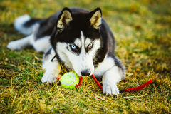 Dog Husky Puppy Plays With Tennis Ball Stock Image