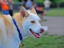 Dog Husky sheppard mix portrait stock photo