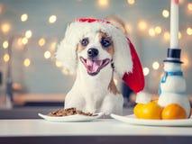 Dog i julhatten som äter mat royaltyfri bild