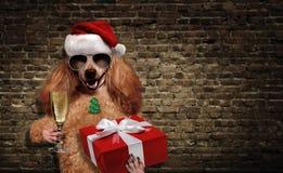 Dog i röd julhatt med gåvan och champagne Royaltyfri Foto