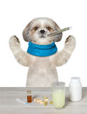 Dog is ill and drinks the medication. Isolated on white royalty free stock photo
