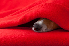 Dog ill or sleeping Stock Image