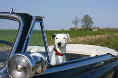 Dog In A Retro Car Royalty Free Stock Photo