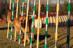 Dog In Agility Royalty Free Stock Image