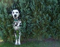 Dog In Bush Royalty Free Stock Photo