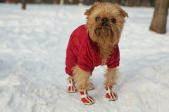 Dog In Clothes And Shoes Stock Images
