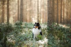 Free Dog In Forest. Sunlight. Pet On The Nature. Sheltie Tricolor In Nature Royalty Free Stock Image - 164155046