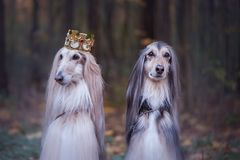 Free Dog In The Crown, Afghan Hounds Royalty Free Stock Photo - 130149065