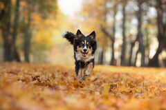 Free Dog In The Leaves In Nature. Border Collie In Park Royalty Free Stock Photography - 196951217