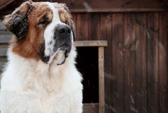 Free Dog In The Snow In Winter Stock Image - 27947411