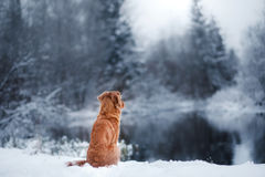 Free Dog In Winter Outdoors, Nova Scotia Duck Tolling Retriever, In The Forest Stock Images - 87747184
