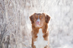 Free Dog In Winter Outdoors, Nova Scotia Duck Tolling Retriever, In The Forest Stock Image - 87748201