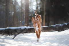Free Dog In Winter Outdoors, Nova Scotia Duck Tolling Retriever, In The Forest Royalty Free Stock Images - 87748219