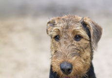Dog With Indifferent Gaze. Head of an aitdale terrier with indifferent gaze, outdoor horizontal shot with shallow depth of field stock photo
