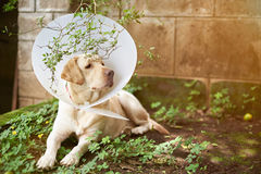 Dog injure recovery theme Stock Image