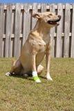 Dog with injured paw royalty free stock photo