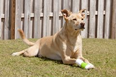 Dog with injured paw stock photography