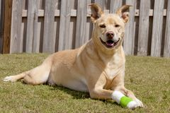 Dog with injured paw stock images