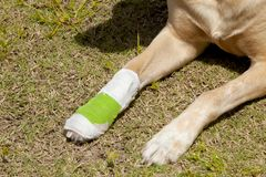 Dog with injured paw stock image
