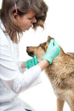 Dog inspection. Young vet inspects a dog in a clinic Royalty Free Stock Photography