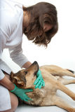 Dog inspection Stock Images