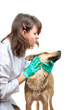 Dog inspection. Young vet inspects a dog in a clinic Stock Photo