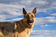 Dog interest-5. German shepherd with a sandy nose Stock Images