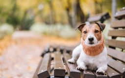 Dog wearing cozy muffler on bench at nice autumn park. Dog inviting to walk at warm fall day Stock Photo
